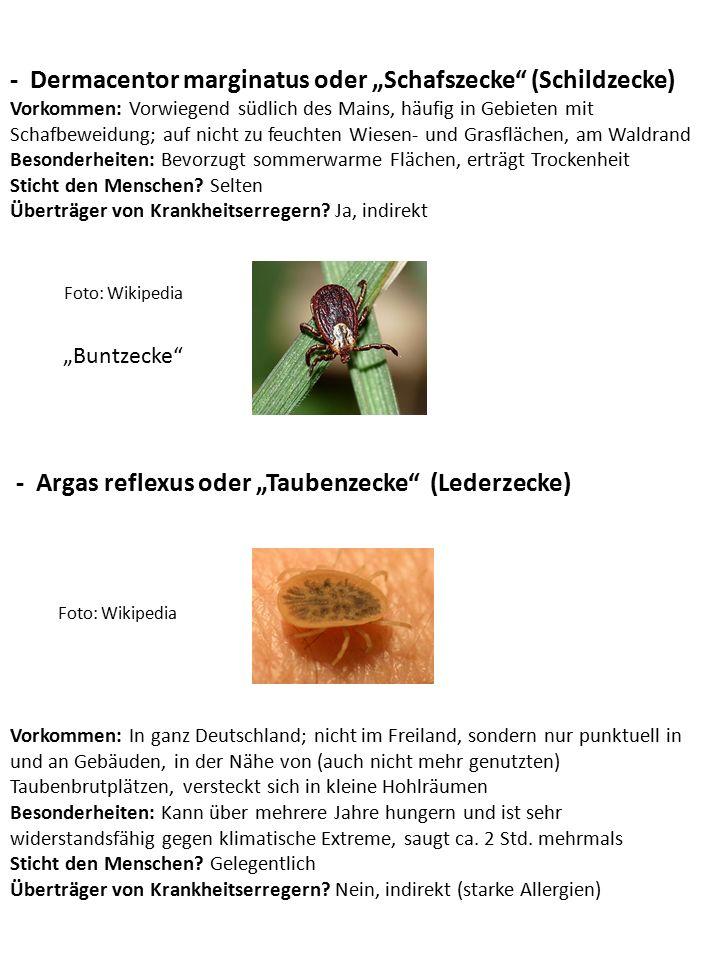 """- Ixodes hexagonus oder """"Igelzecke (Schildzecke) Foto: Wikipedia Vorkommen: Vermutlich in ganz Deutschland Besonderheiten: Lebt verborgen in den Bauten oder Gängen ihrer Wirte Sticht den Menschen."""