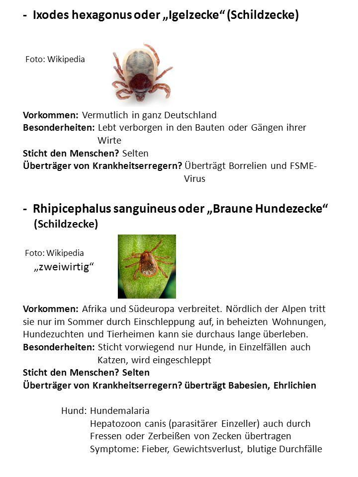 """- Ixodes hexagonus oder """"Igelzecke"""" (Schildzecke) Foto: Wikipedia Vorkommen: Vermutlich in ganz Deutschland Besonderheiten: Lebt verborgen in den Baut"""