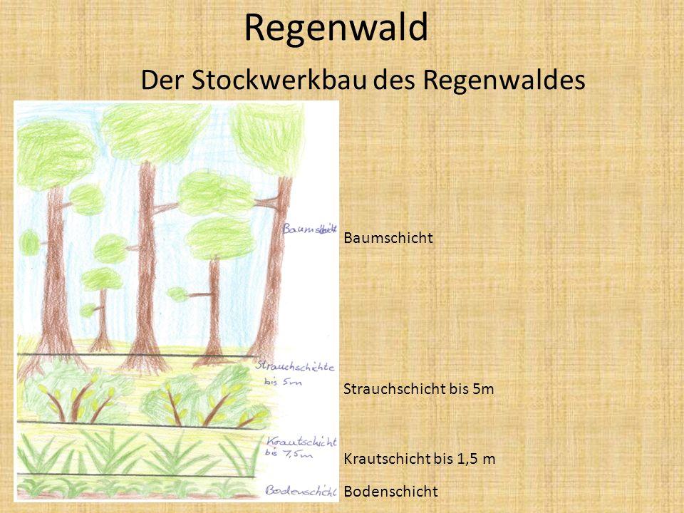 Regenwald Der Stockwerkbau des Regenwaldes Baumschicht Strauchschicht bis 5m Krautschicht bis 1,5 m Bodenschicht