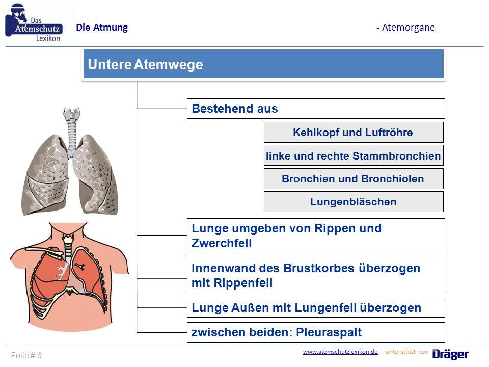 www.atemschutzlexikon.dewww.atemschutzlexikon.de ünterstützt von Folie # 6 Bestehend aus Lunge Außen mit Lungenfell überzogen Untere Atemwege Die Atmu