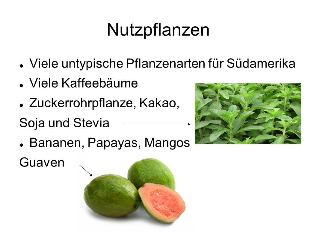 Nutzpflanzen Viele untypische Pflanzenarten für Südamerika Viele Kaffeebäume Zuckerrohrpflanze, Kakao, Soja und Stevia Bananen, Papayas, Mangos Guaven