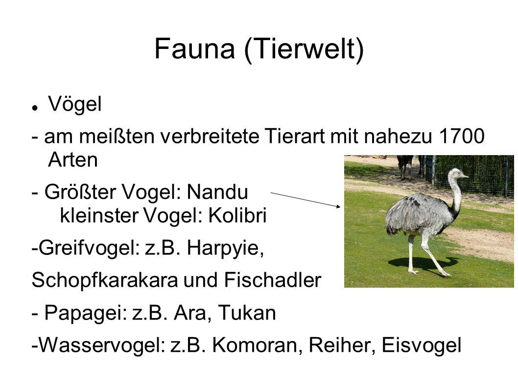 Fauna (Tierwelt) Vögel - am meißten verbreitete Tierart mit nahezu 1700 Arten - Größter Vogel: Nandu kleinster Vogel: Kolibri -Greifvogel: z.B.