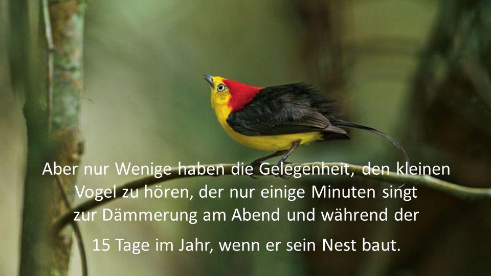 Sein Lied klingt rein und delikat, wie auf einer Flöte gespielt und der Amazonas-Wald kürte ihn voller Ehrfurcht zum Meister der Vögel.