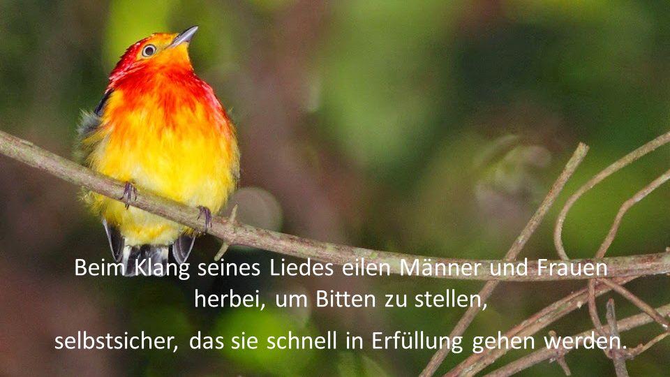 Aber nur Wenige haben die Gelegenheit, den kleinen Vogel zu hören, der nur einige Minuten singt zur Dämmerung am Abend und während der 15 Tage im Jahr