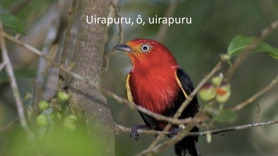 Die wundersame Geschichte des Uirapuru (eine brasilianische Sage)