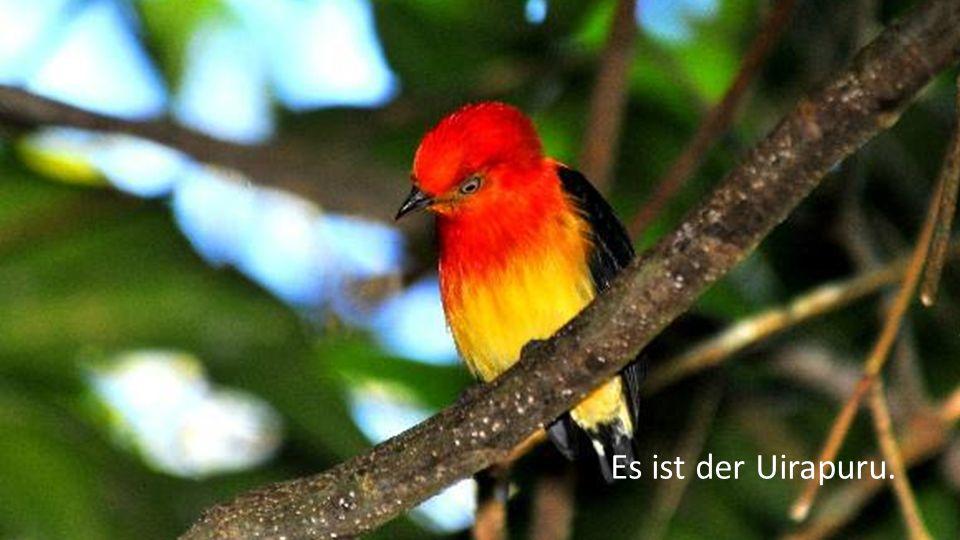 Er war es, der schönste Indianer, den sie für immer verloren glaubten, verzaubert in einen Vogel mit der melodiösen Stimme des Waldes.