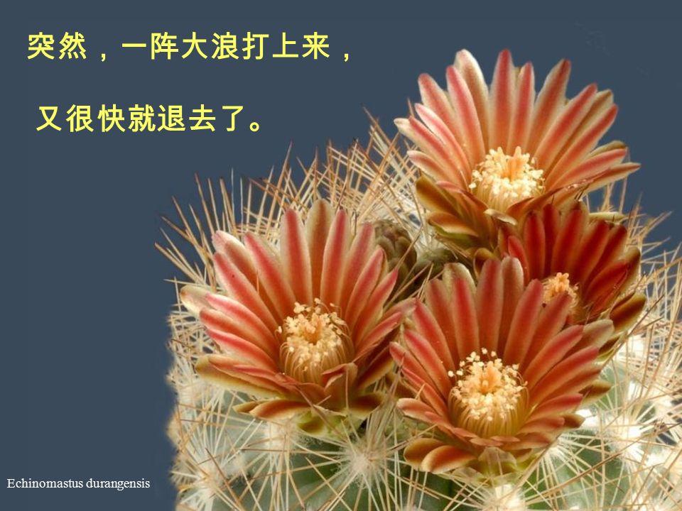 Echinocereus reichenbachii 他写得有些累了,直起腰来, 看着自己一连串的烦恼。
