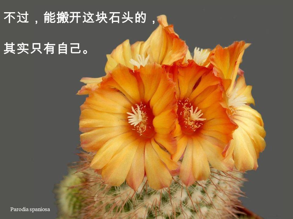 Copiapoa tenuissima 忧郁彷佛已经成 了现代的文明病, 就算我们没有罹患 忧郁症,却或多或少, 常会感到闷闷不乐, 心口彷佛被压了 一块大石头。