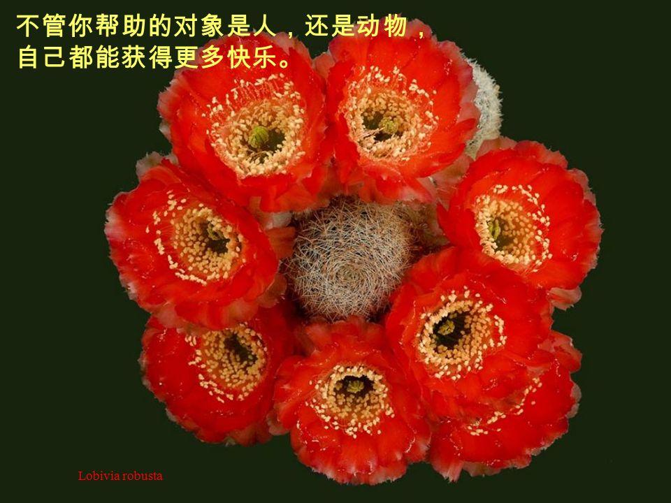 Ortegocactus macdougallii 第二帖药是付出。