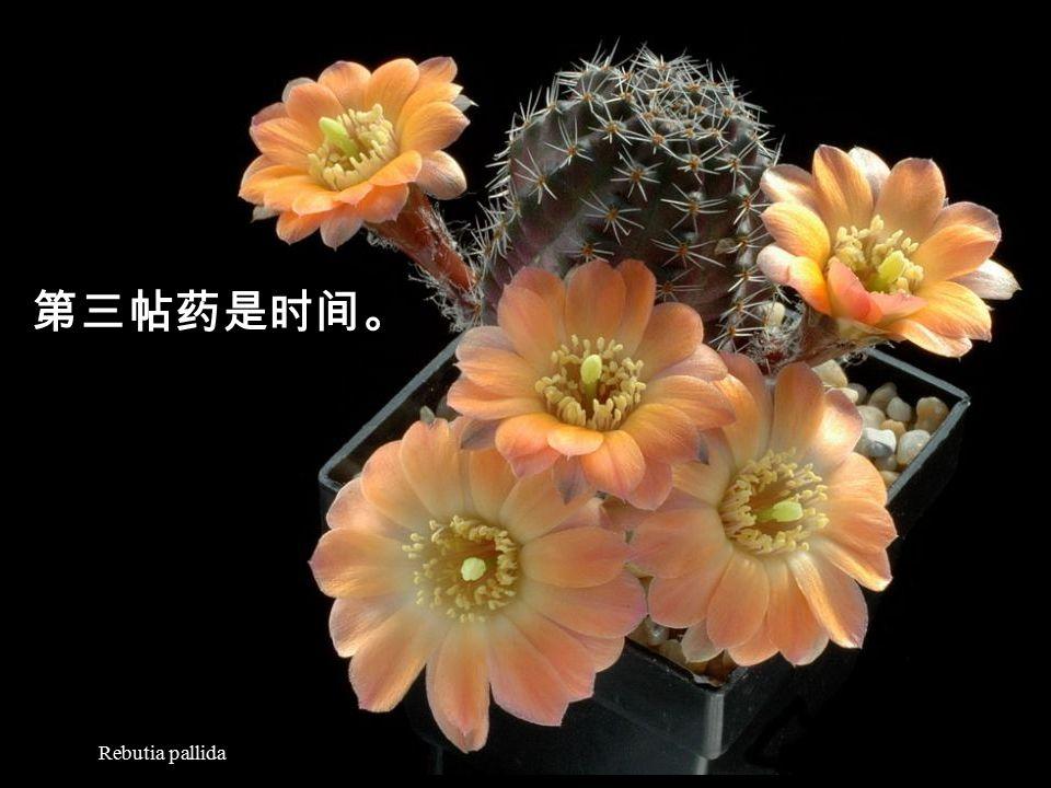 Discocactus pugionacanthus 只要付出一点点时间, 就能换回充实的心灵, 不是非常划算吗?