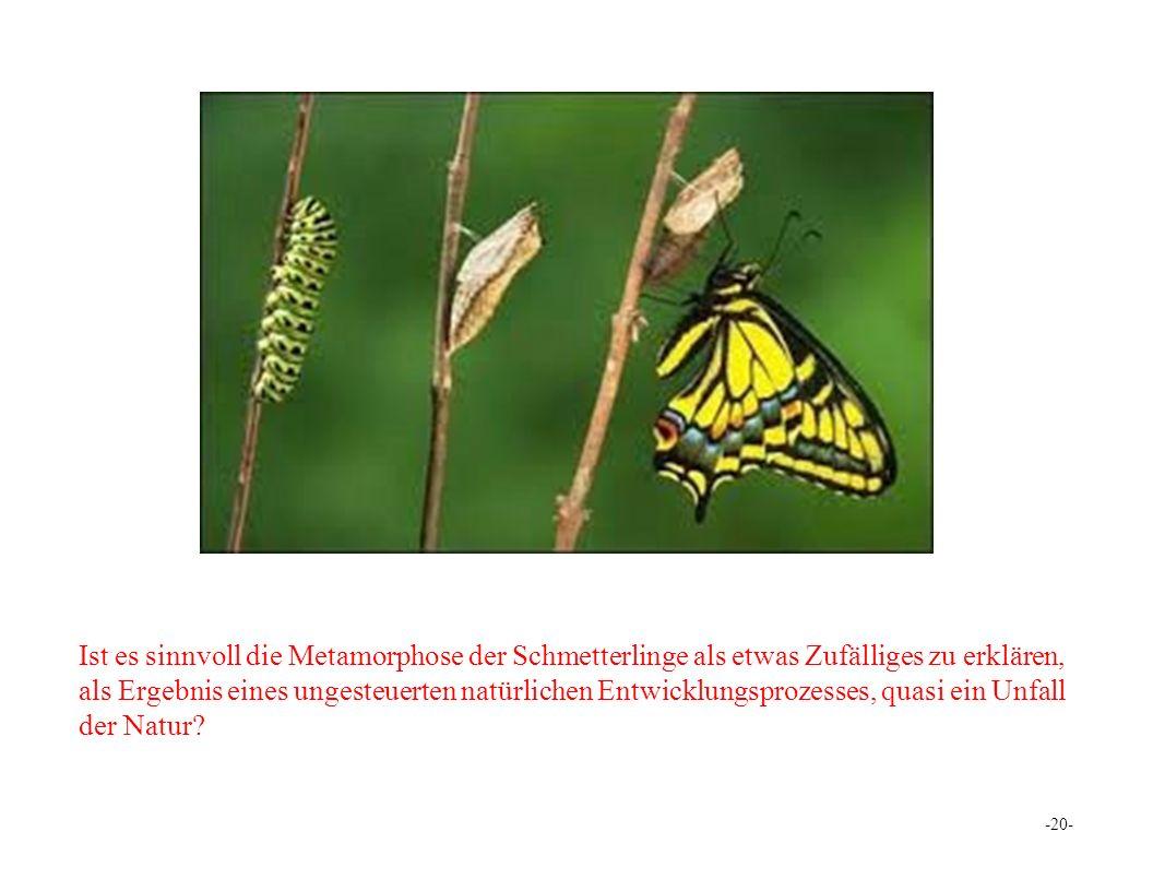 Ist es sinnvoll die Metamorphose der Schmetterlinge als etwas Zufälliges zu erklären, als Ergebnis eines ungesteuerten natürlichen Entwicklungsprozesses, quasi ein Unfall der Natur.