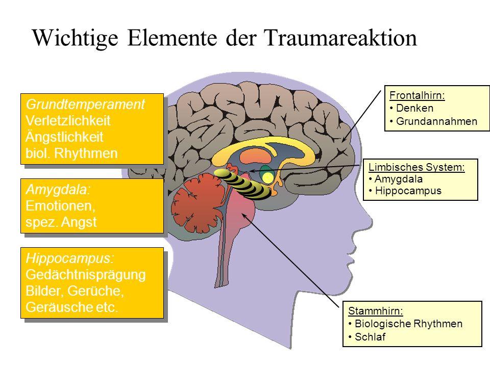 Limbisches System: Amygdala Hippocampus Frontalhirn: Denken Grundannahmen Wichtige Elemente der Traumareaktion Amygdala: Emotionen, spez. Angst Hippoc