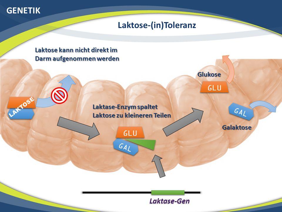 GENETIK Laktose-(in)Toleranz GAL GLU LAKTOSE Laktase-Gen GLU GAL Laktose kann nicht direkt im Darm aufgenommen werden Laktase-Enzym spaltet Laktose zu