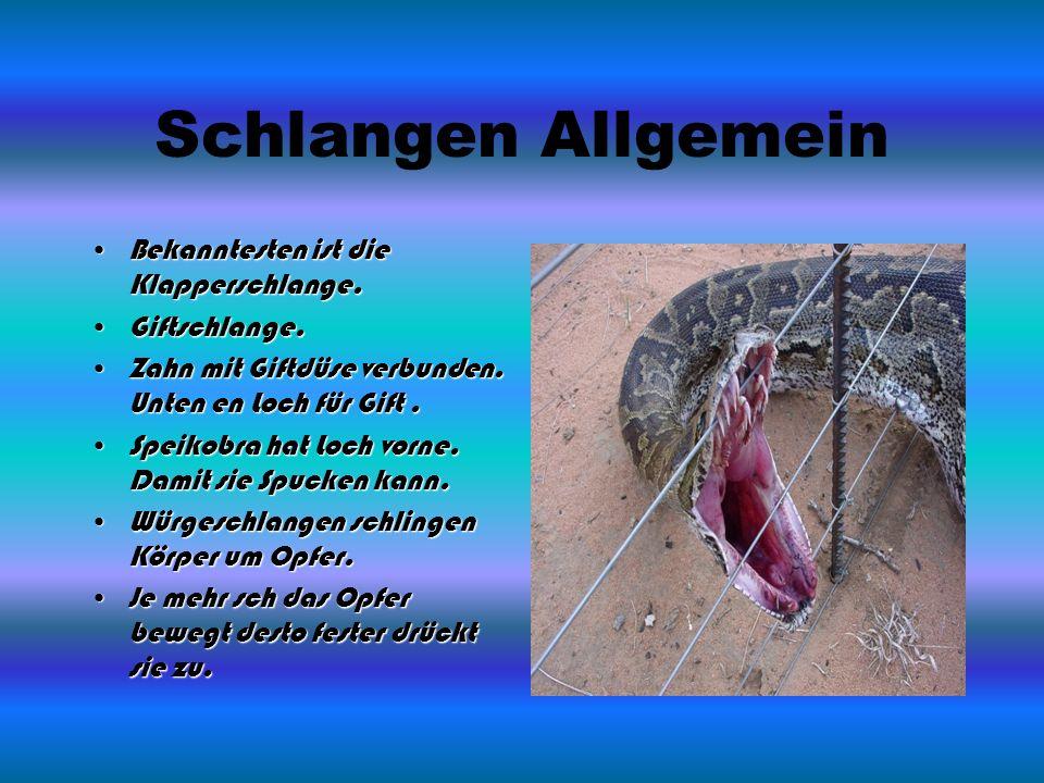 Schlangen Allgemein Bekanntesten ist die Klapperschlange.Bekanntesten ist die Klapperschlange.