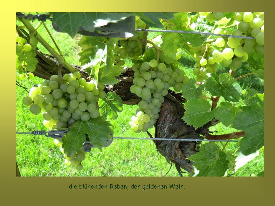die blühenden Reben, den goldenen Wein.