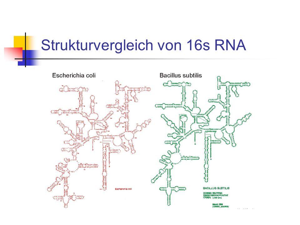 Strukturvergleich von 16s RNA