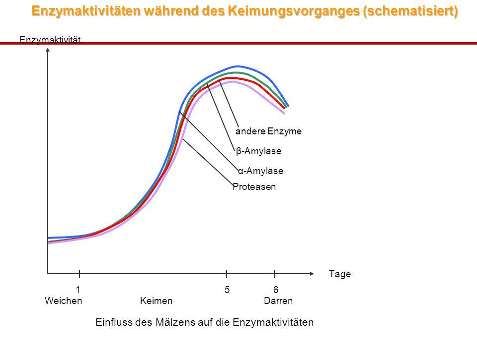 Enzymaktivitäten während des Keimungsvorganges (schematisiert) Einfluss des Mälzens auf die Enzymaktivitäten 1 5 6 WeichenKeimen Darren Tage Enzymaktivität α-Amylase β-Amylase andere Enzyme Proteasen