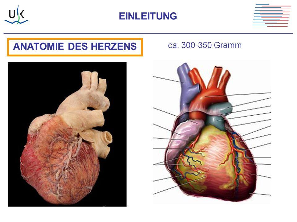 ANATOMIE DES HERZENS ca. 300-350 Gramm