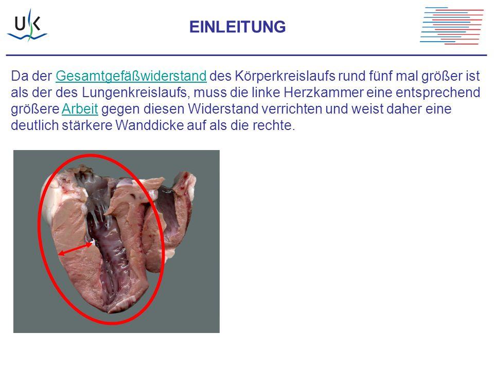 Da der Gesamtgefäßwiderstand des Körperkreislaufs rund fünf mal größer istGesamtgefäßwiderstand als der des Lungenkreislaufs, muss die linke Herzkamme