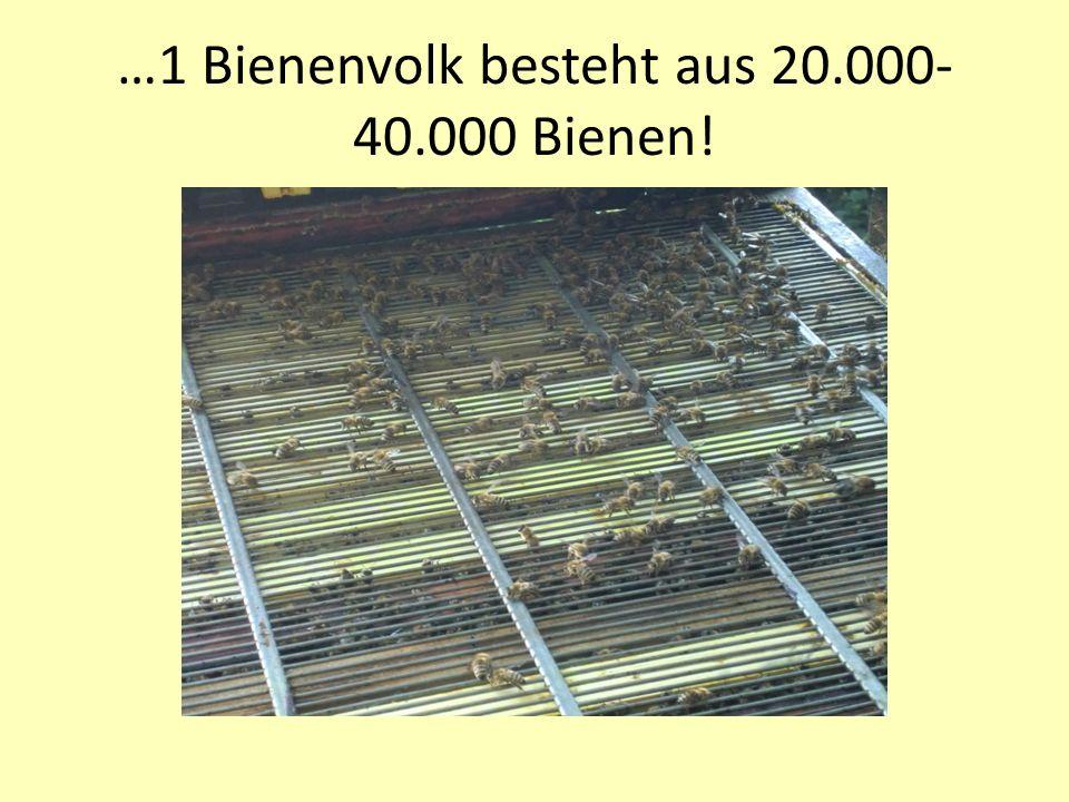 …1 Bienenvolk besteht aus 20.000- 40.000 Bienen!
