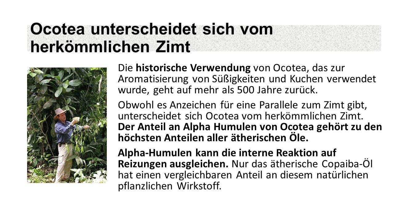 Ocotea unterscheidet sich vom herkömmlichen Zimt Die historische Verwendung von Ocotea, das zur Aromatisierung von Süßigkeiten und Kuchen verwendet wurde, geht auf mehr als 500 Jahre zurück.