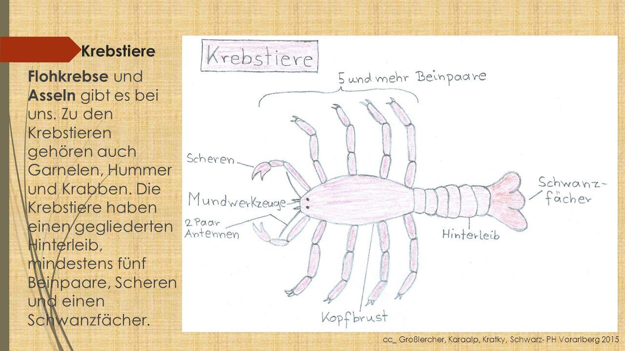 Krebstiere Flohkrebse und Asseln gibt es bei uns. Zu den Krebstieren gehören auch Garnelen, Hummer und Krabben. Die Krebstiere haben einen gegliederte