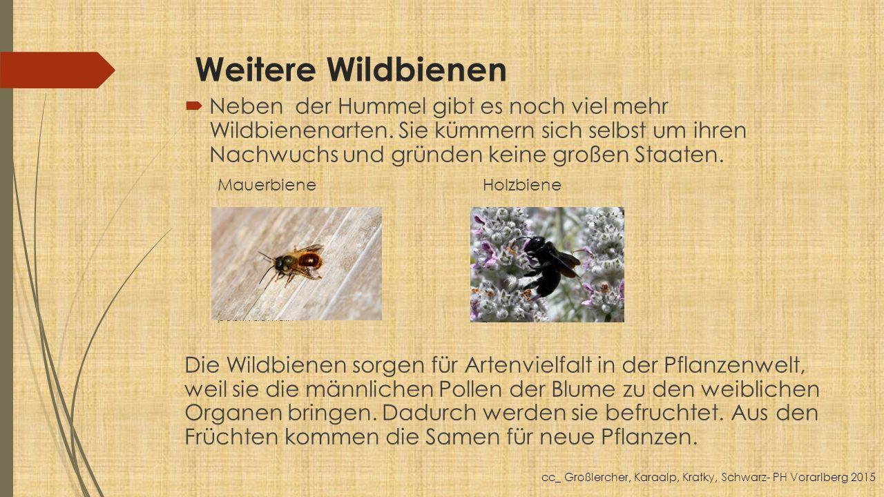 Weitere Wildbienen  Neben der Hummel gibt es noch viel mehr Wildbienenarten. Sie kümmern sich selbst um ihren Nachwuchs und gründen keine großen Staa