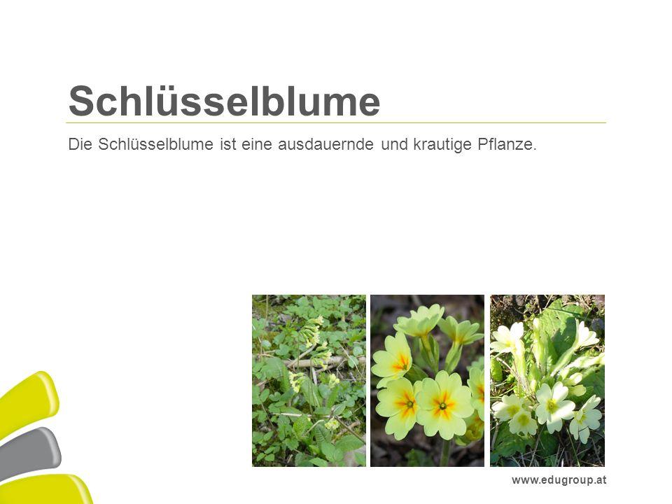 © Education Group GmbH | www.edugroup.at/praxis/Miniweb/Frühblüher www.edugroup.at Schlüsselblume Die Schlüsselblume ist eine ausdauernde und krautige