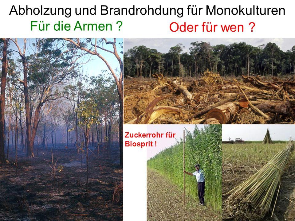 Abholzung und Brandrohdung für Monokulturen Oder für wen .