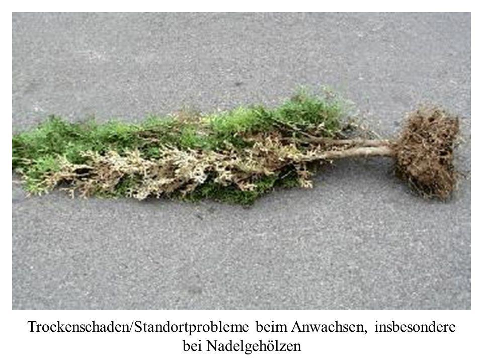 Trockenschaden/Standortprobleme beim Anwachsen, insbesondere bei Nadelgehölzen