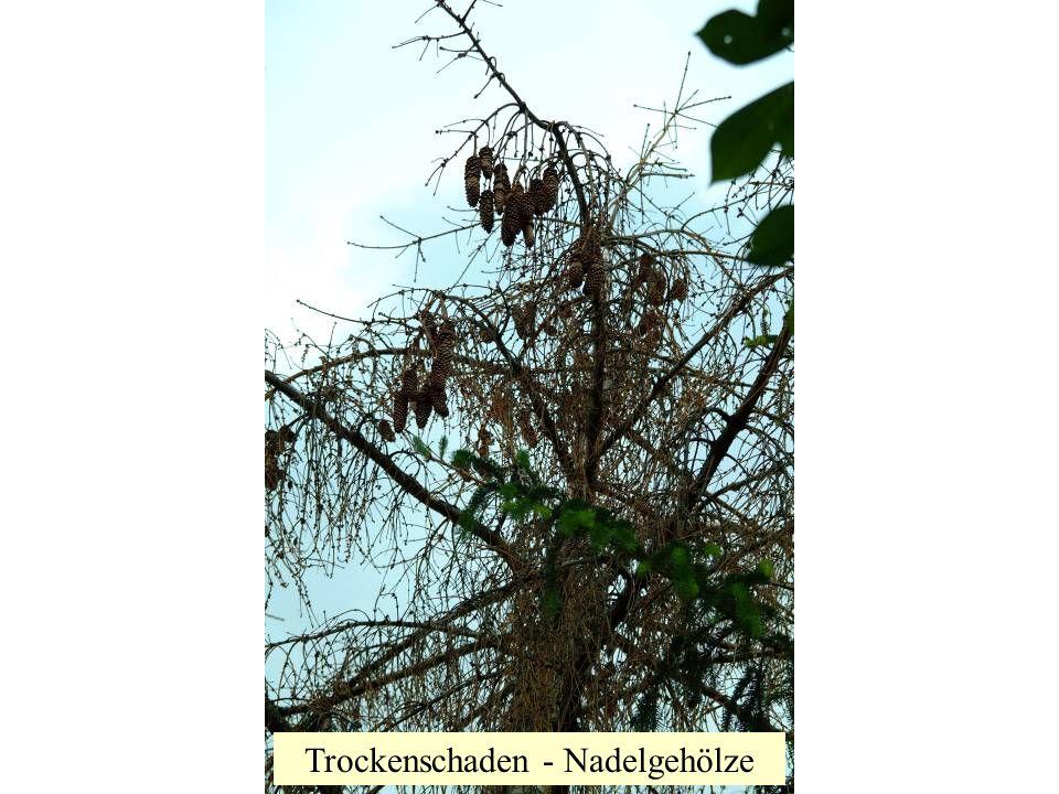 Trockenschaden - Nadelgehölze