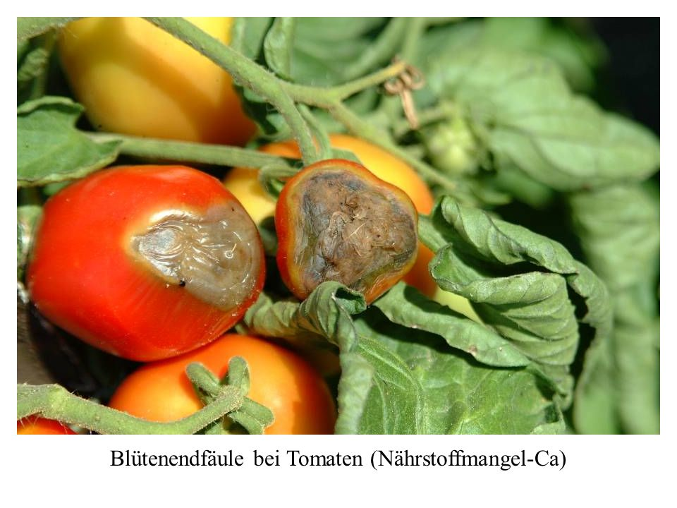 Blütenendfäule bei Tomaten (Nährstoffmangel-Ca)