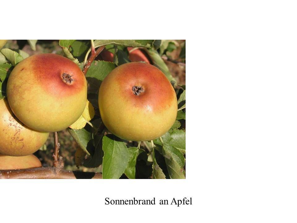 Sonnenbrand an Apfel