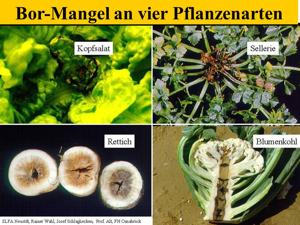 Bor-Mangel an vier Pflanzenarten