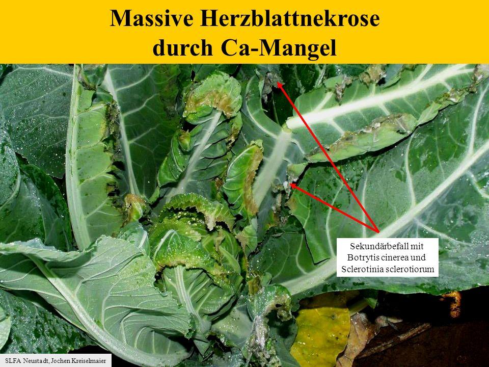 Massive Herzblattnekrose durch Ca-Mangel SLFA Neustadt, Jochen Kreiselmaier Sekundärbefall mit Botrytis cinerea und Sclerotinia sclerotiorum
