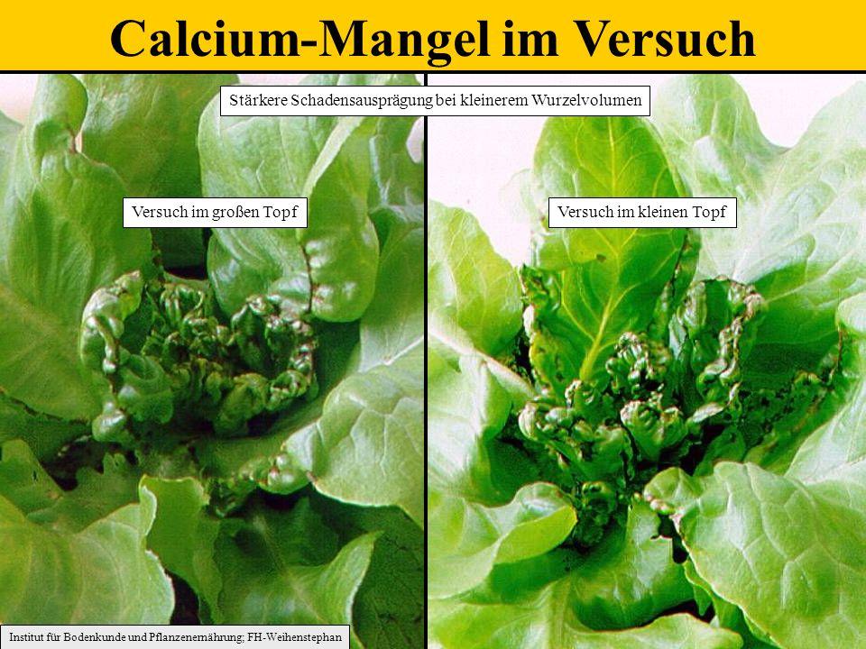 Calcium-Mangel im Versuch Versuch im kleinen TopfVersuch im großen Topf Institut für Bodenkunde und Pflanzenernährung; FH-Weihenstephan Stärkere Schadensausprägung bei kleinerem Wurzelvolumen