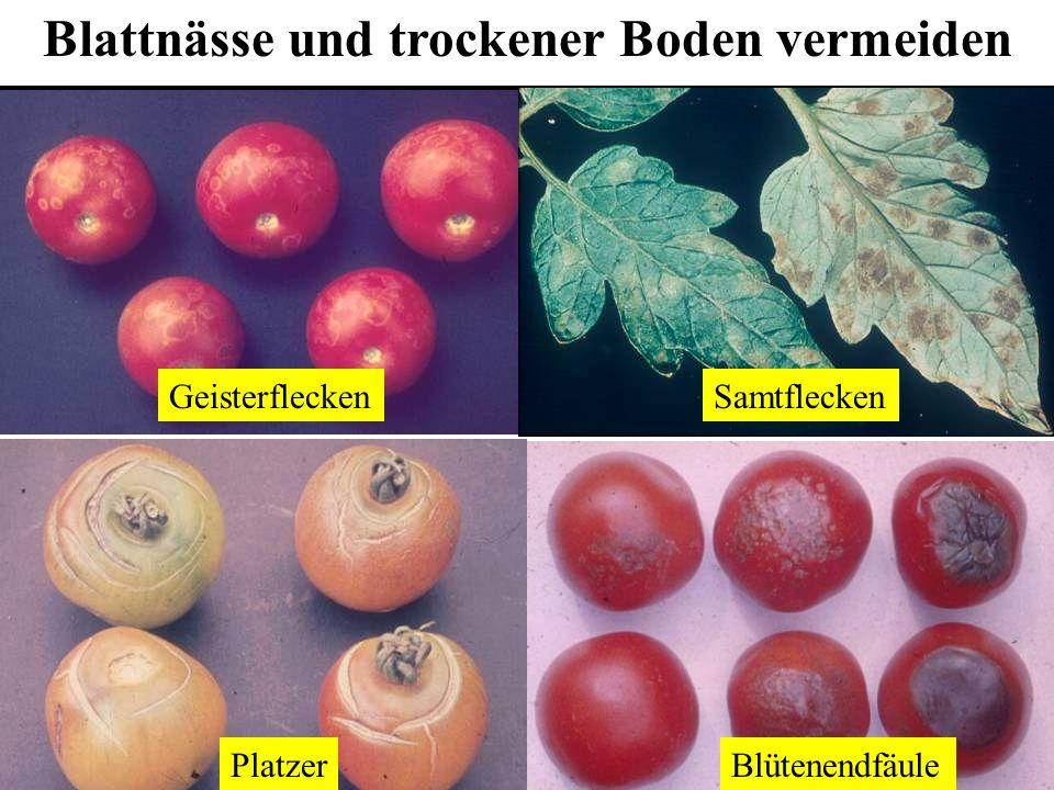 Blattnässe und trockener Boden vermeiden GeisterfleckenSamtflecken BlütenendfäulePlatzer