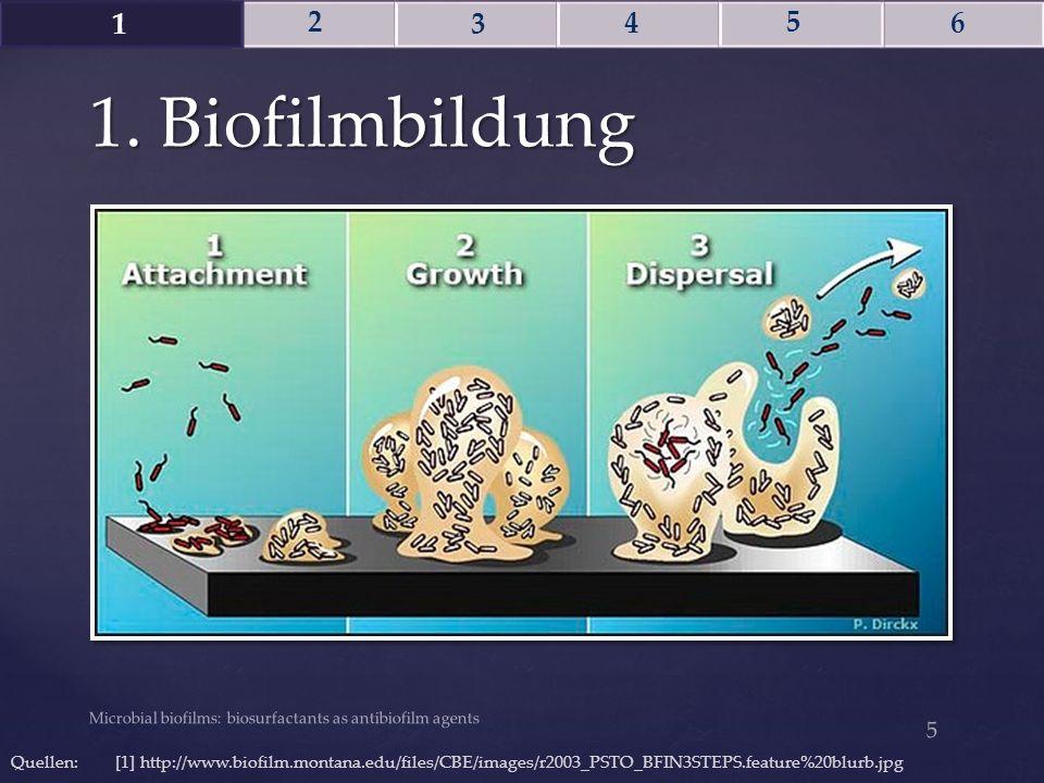 1. Biofilmbildung Microbial biofilms: biosurfactants as antibiofilm agents 5 Quellen: [1] http://www.biofilm.montana.edu/files/CBE/images/r2003_PSTO_B