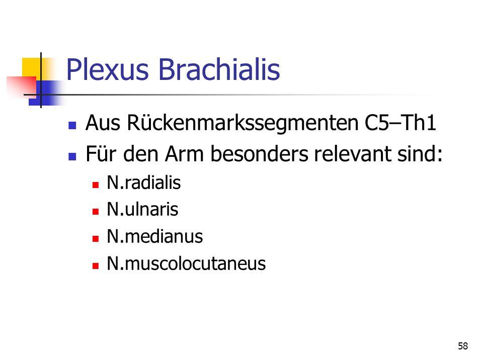 Plexus Brachialis Aus Rückenmarkssegmenten C5–Th1 Für den Arm besonders relevant sind: N.radialis N.ulnaris N.medianus N.muscolocutaneus 58