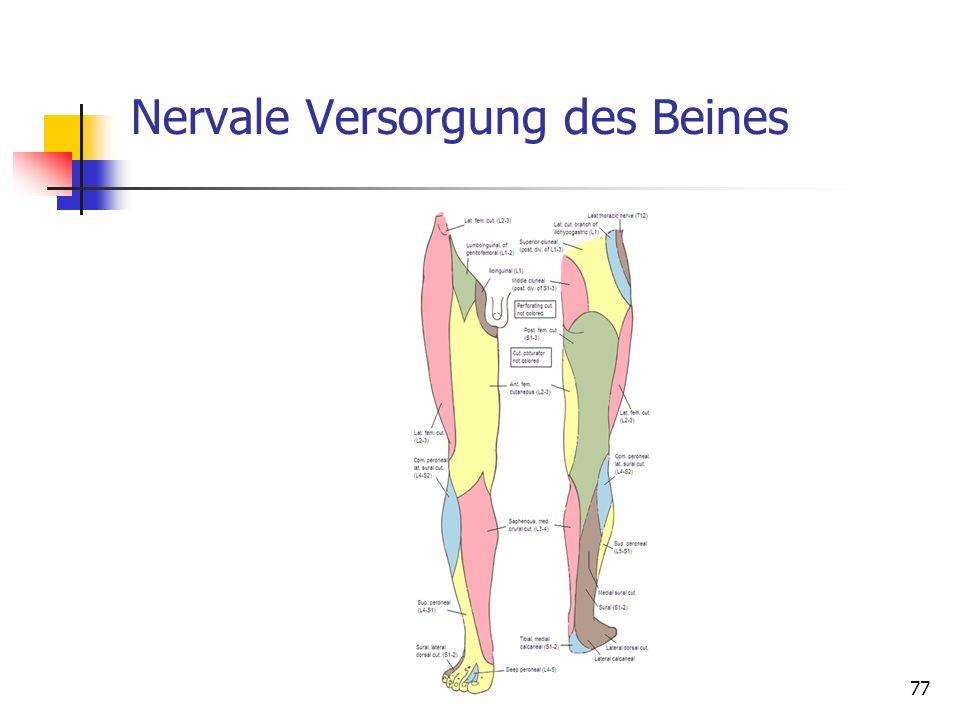 Nervale Versorgung des Beines 77