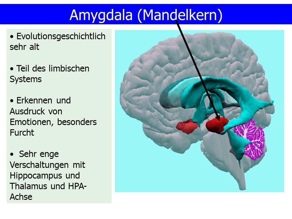 Amygdala (Mandelkern) Evolutionsgeschichtlich sehr alt Teil des limbischen Systems Erkennen und Ausdruck von Emotionen, besonders Furcht Sehr enge Ver