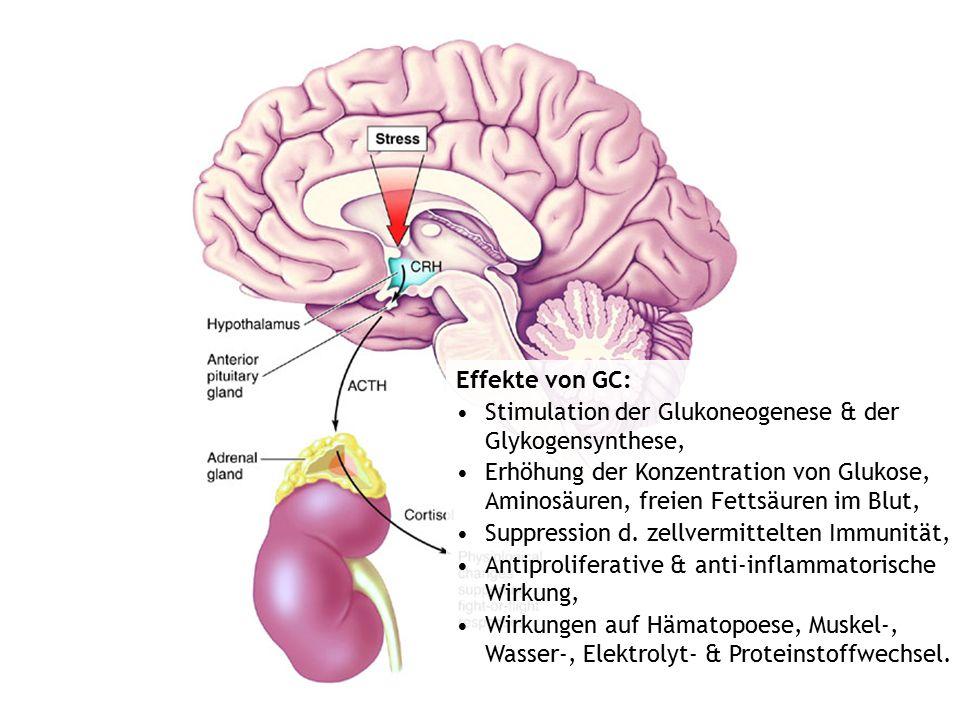 Effekte von GC: Stimulation der Glukoneogenese & der Glykogensynthese, Erhöhung der Konzentration von Glukose, Aminosäuren, freien Fettsäuren im Blut,