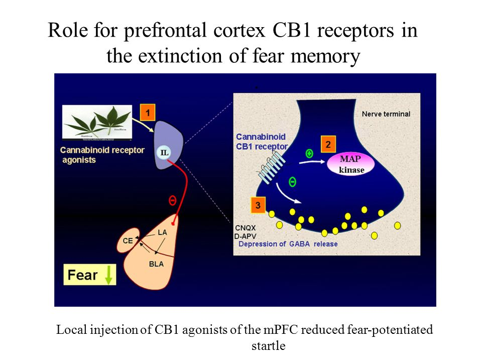 Role for prefrontal cortex CB1 receptors in the extinction of fear memory. Local injection of CB1 agonists of the mPFC reduced fear-potentiated startl