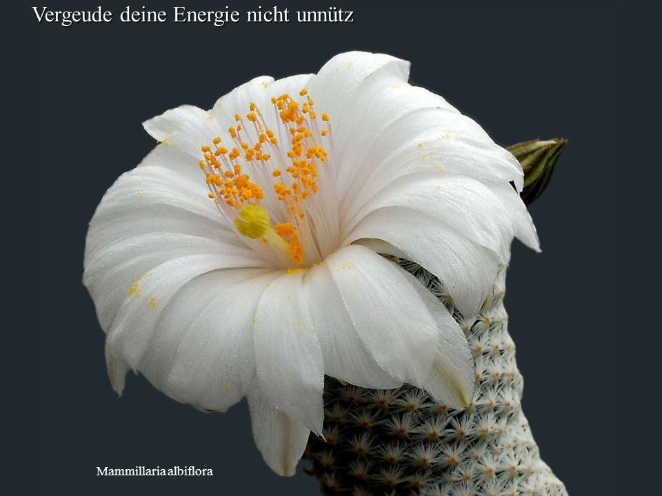 Mammillaria albiflora Vergeude deine Energie nicht unnütz