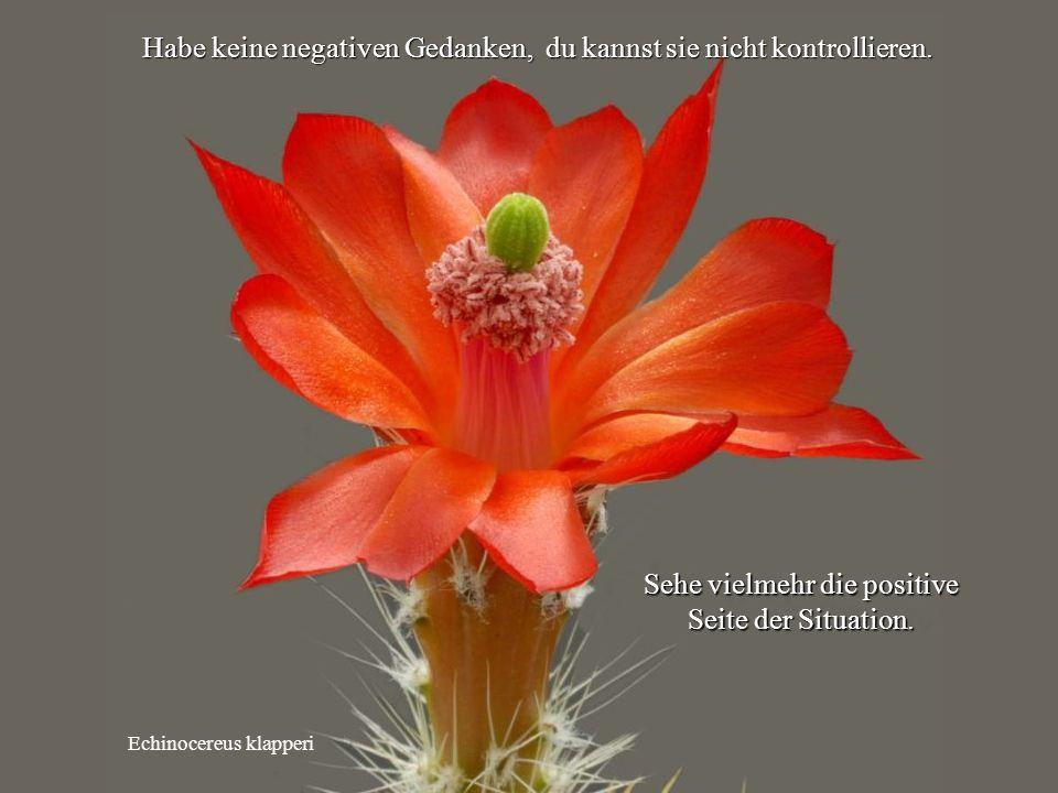 Echinocereus klapperi Habe keine negativen Gedanken, du kannst sie nicht kontrollieren.