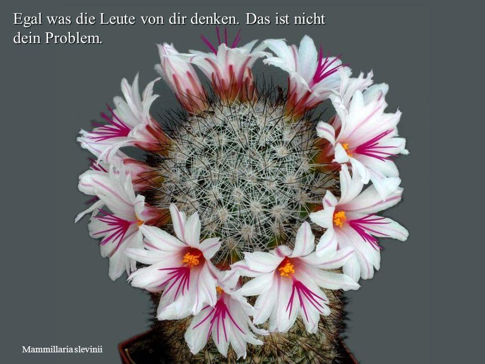 Mammillaria slevinii Egal was die Leute von dir denken. Das ist nicht dein Problem.
