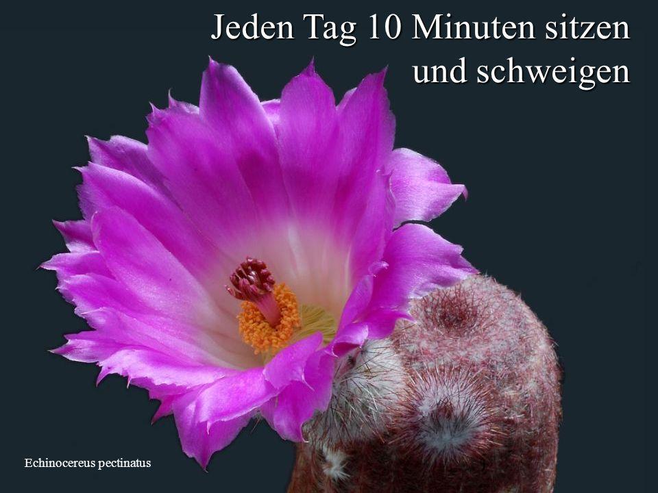 Echinocereus pectinatus Jeden Tag 10 Minuten sitzen und schweigen