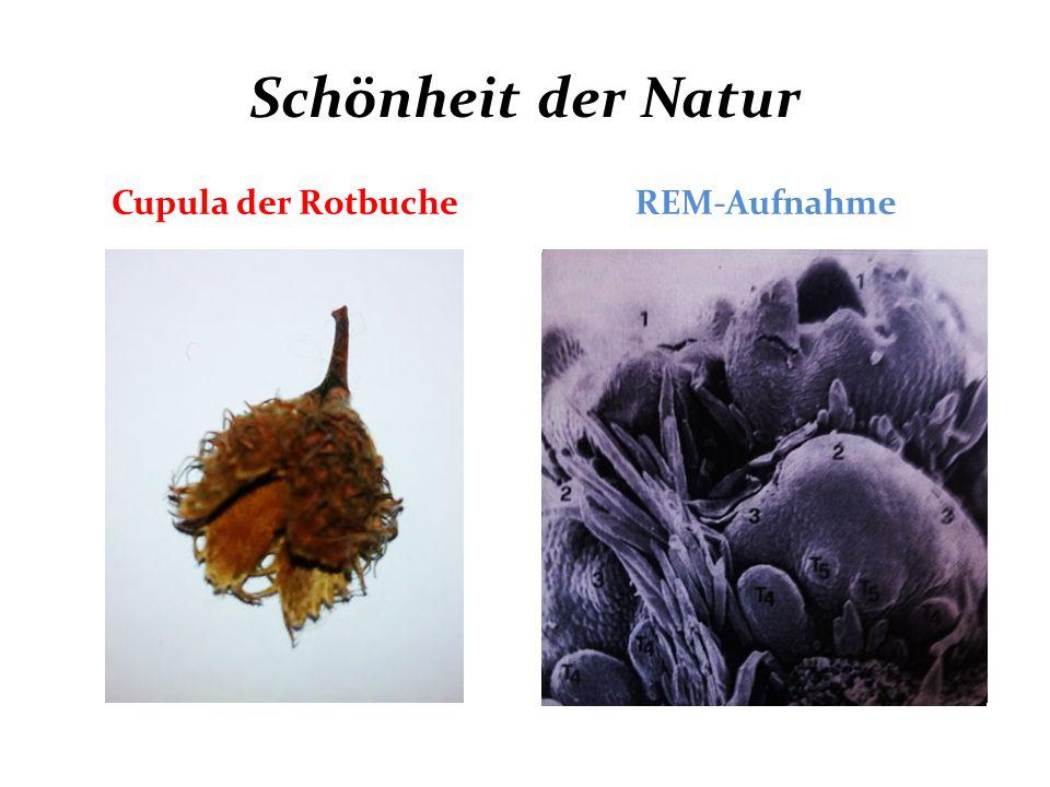 Schönheit der Natur Cupula der Rotbuche REM-Aufnahme