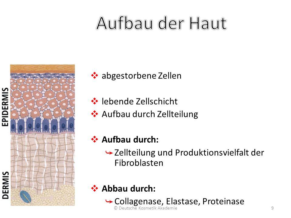 ❖ abgestorbene Zellen ❖ lebende Zellschicht ❖ Aufbau durch Zellteilung ❖ Aufbau durch: ➥ Zellteilung und Produktionsvielfalt der Fibroblasten ❖ Abbau