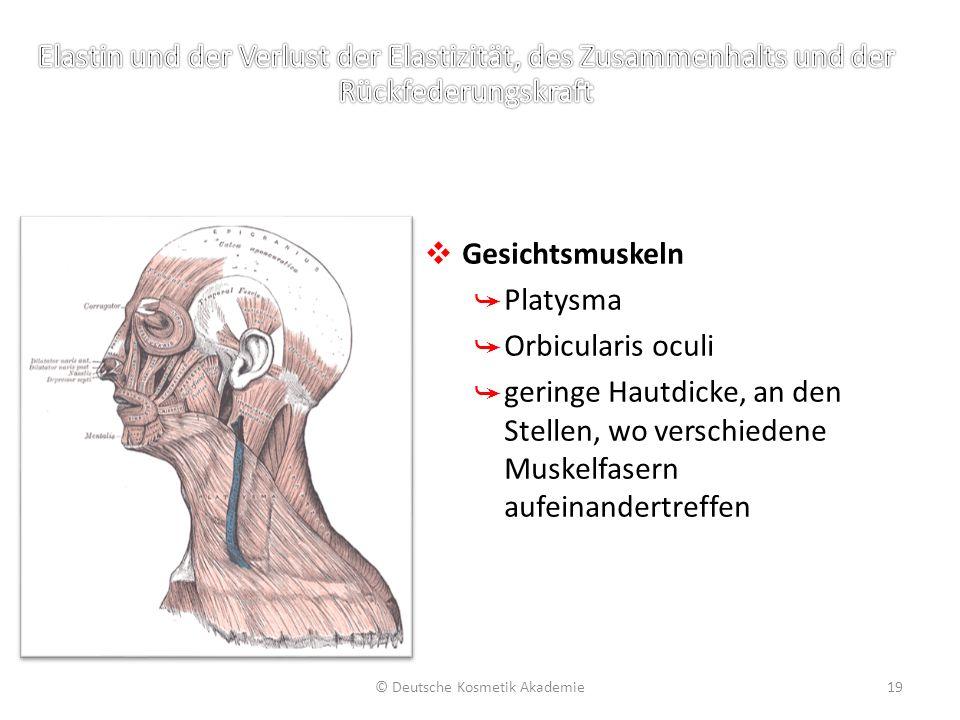 ❖ Gesichtsmuskeln ➥ Platysma ➥ Orbicularis oculi ➥ geringe Hautdicke, an den Stellen, wo verschiedene Muskelfasern aufeinandertreffen © Deutsche Kosme